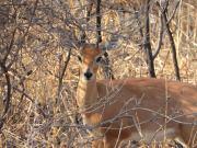 Dwarf Antelope
