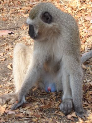 The famous blue balled baboon