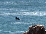 Southern ridgeback whales